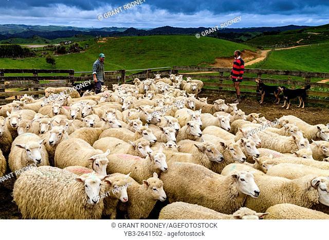 Sheep In A Sheep Pen Waiting To Be Sheared, Sheep Farm, Pukekohe, New Zealand