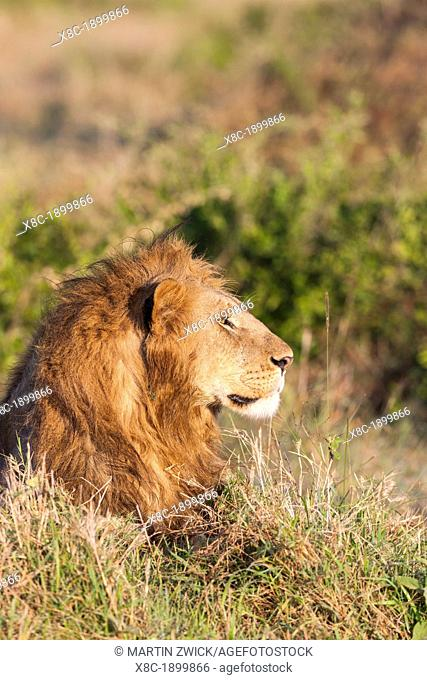 Lion Panthera leo Maasai Mara, Kenya  Africa, East Africa, kenya, Maasai Mara, December