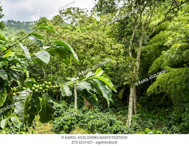 Coffea Plantation, Salento, Quindio Department, Colombia