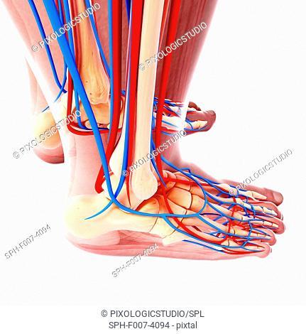 Human foot cardiovascular system, computer artwork