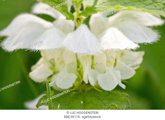 (Lamium album) White Deadnettle