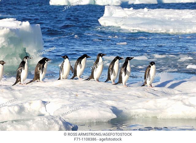 Adélie Penguins Pygoscelis adeliae  Paulet Island, Antarctic Peninsula