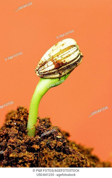 Sunflower seedling