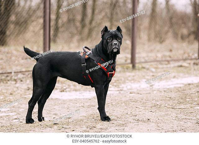 Black Young Cane Corso Puppy Dog Outdoors. Big dog breeds