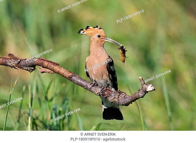 Eurasian hoopoe (Upupa epops) perched on branch with caught insect prey in beak