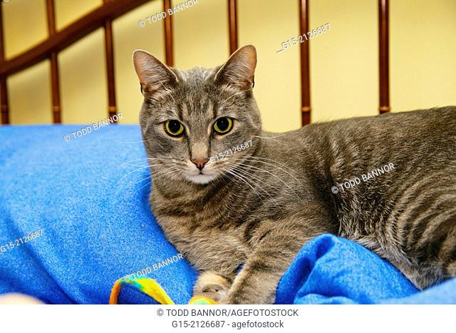 Gray tabby cat resting on bed