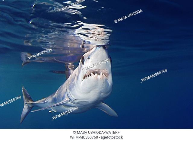 Shortfin Mako Shark, Isurus oxyrinchus, San Diego, East Pacific Ocean, California, USA