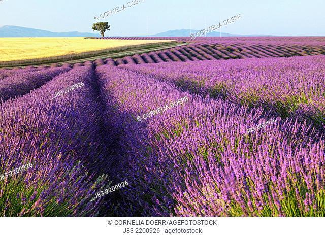 Lavender field (Lavendula augustifolia) and Tree in Background, Valensole, Plateau de Valensole, Alpes-de-Haute-Provence, Provence-Alpes-Cote d'Azur, Provence