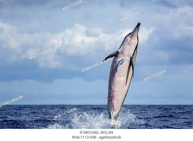 Hawaiian spinner dolphin (Stenella longirostris), AuAu Channel, Maui, Hawaii, United States of America, Pacific