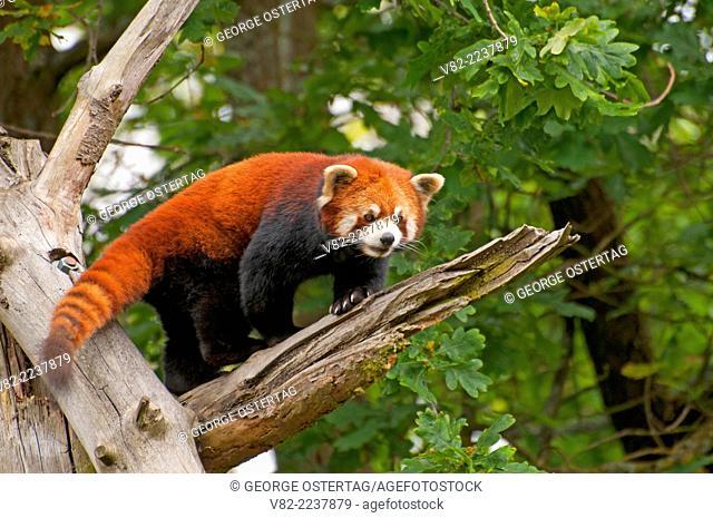 Red panda (Ailurus fulgens), Point Defiance Zoo and Aquarium, Point Defiance Park, Tacoma, Washington