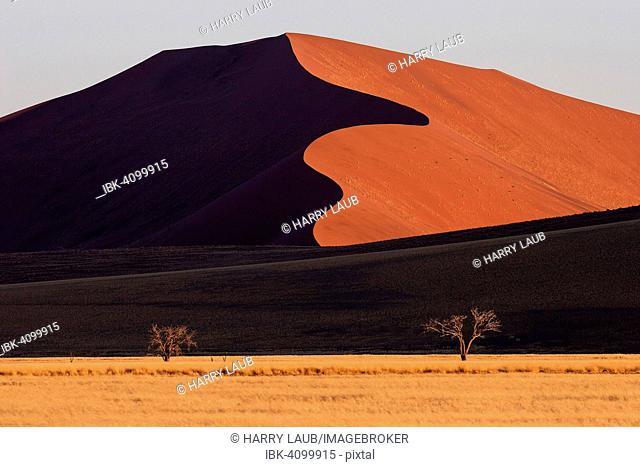Sand dunes, Camel thorn trees (Vachellia erioloba) at the front, evening light, Sossusvlei, Namib Desert, Namib-Naukluft National Park, Namibia