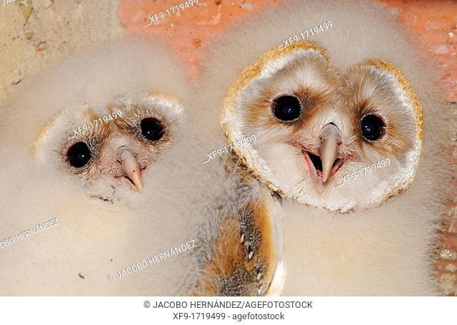 Barn Owl Tyto Alba Extremadura  Spain