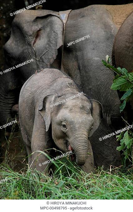 Borneo Pygmy Elephant (Elephas maximus borneensis) mother and calf feeding, Borneo, Malaysia