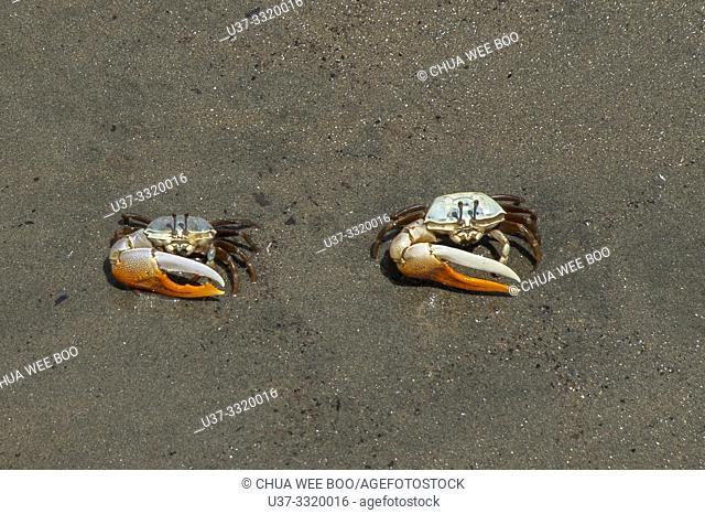 Small crabs at Tanjung Gemuk ferry terminal, Malaysia