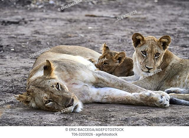 Lioness (Panthera leo) with suckling cubs of different ages, early morning, South Luangwa National Park, Zambia