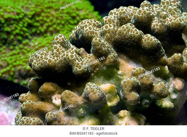 clubtip finger coral, clubbed finger coral, thick finger coral (Porites porites), close-up view