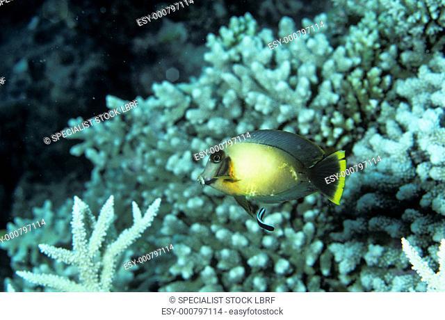 Chocolate surgeonfish with bluestreak cleaner wrasse over corals, Palau Acanthurus pyroferus and Labroides dimidiatus Palau Belau, Pacific Ocean