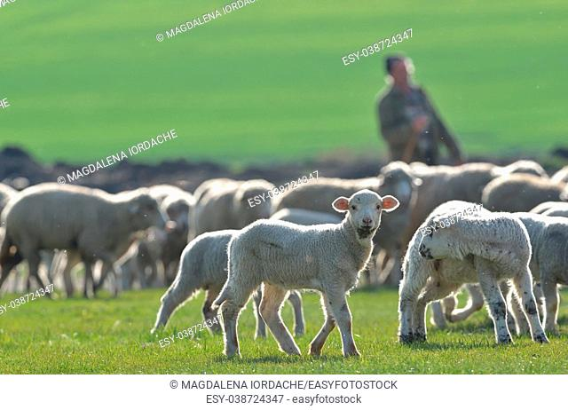 Flock of sheep and lambs on field at sunset