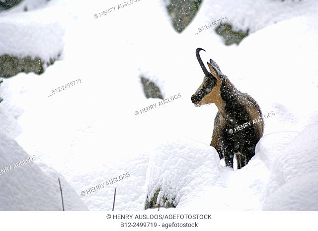 Pyrenean chamois - Rupicapra pyrenaica - Pyrenees - France