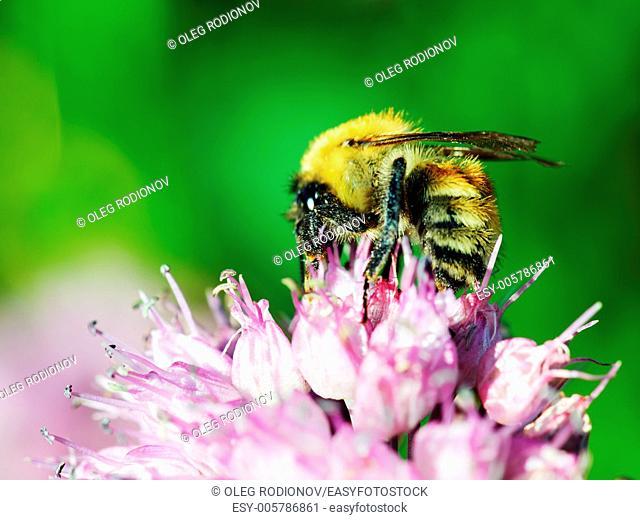 Macro shot of honey bee on blue flower
