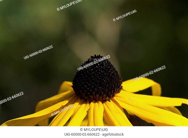 Black Eyed Susan-Rudbeckia hirta-during the summer months in the White Mountains, New Hampshire USA. .Notes: