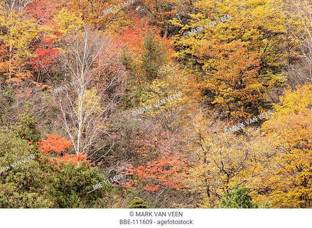 Detail of the Japanese autumn colors of the mountain forests