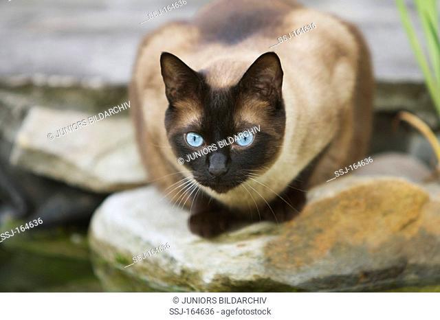 Siamese cat - lying