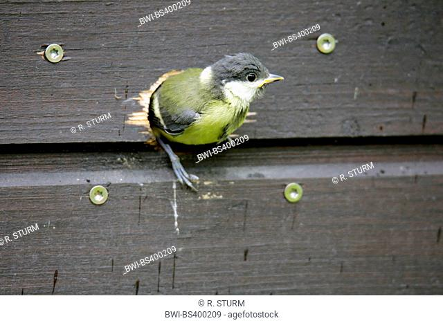 great tit (Parus major), young bird just before first flight out, Germany, Bavaria