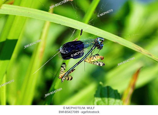banded blackwings, banded agrion, banded demoiselle (Calopteryx splendens, Agrion splendens), is fed by scorpion flies, Germany