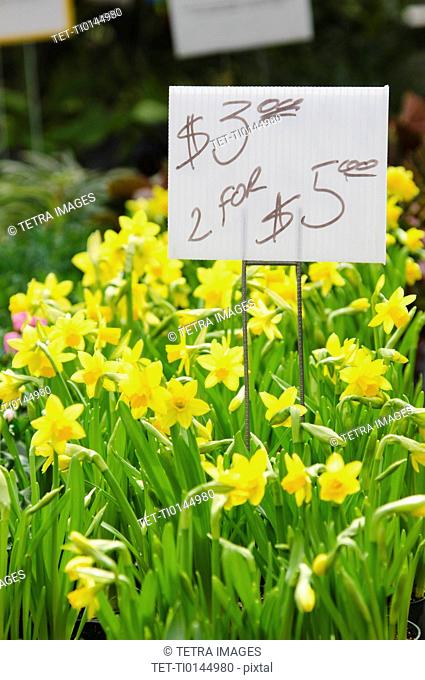 Daffodils for sale on flower market