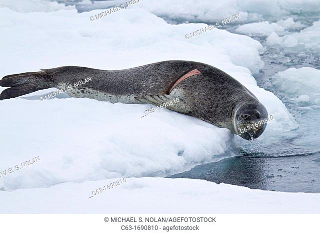 Adult leopard seal Hydrurga leptonyx hauled out on ice floe note the fresh wound on the right side of body at Dorian Bay near the Antarctic Peninsula