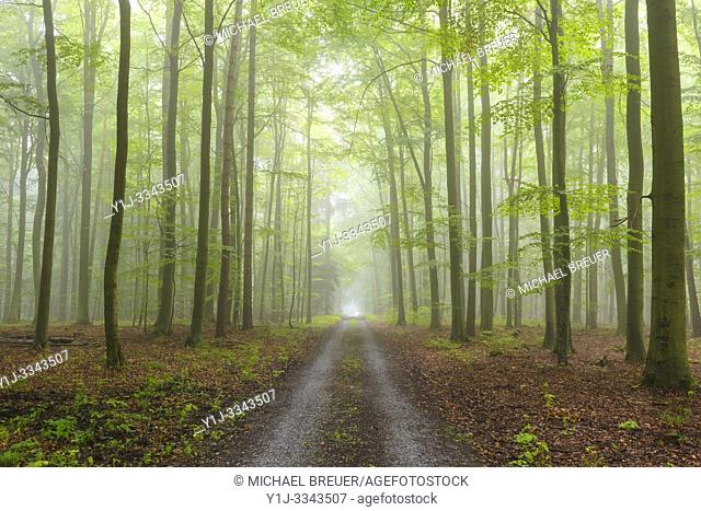 Path through misty beech forest, Spessart, Bavaria, Germany, Europe