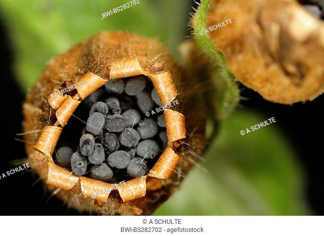 red campion Silene dioica, vessel with seeds from above, Germany, Bavaria