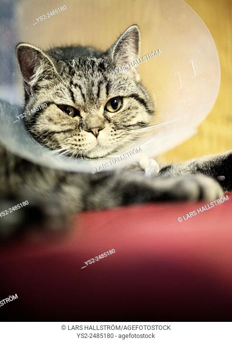 Close up of cat wearing a plastic protective collar around the neck. The protection will prevent the animal from reaching part of the body with recent surgery
