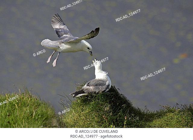 Northern Fulmars pair Cape Dyrholaey Iceland Fulmarus glacialis