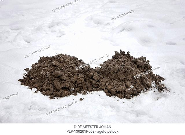 Molehills / mole mounds / molecasts by European mole Talpa europaea on lawn in the snow in winter