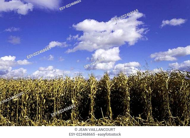 Corn field in the fall during harvest
