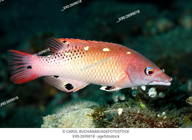 Diana's Hogfish, also known as Diana's Pigfish, Bodianus diana. Tulamben, Bali, Indonesia. Bali Sea, Indian Ocean
