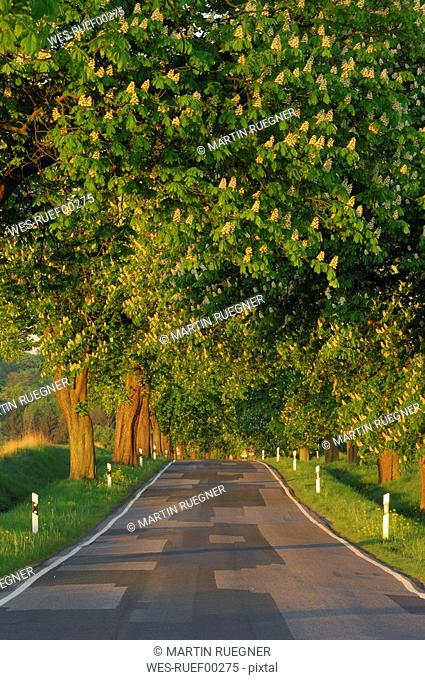 Germany, Mecklenburg-Western Pomerania, Tree lined rural road with Horse Chestnut Trees Aesculus hippocastanum