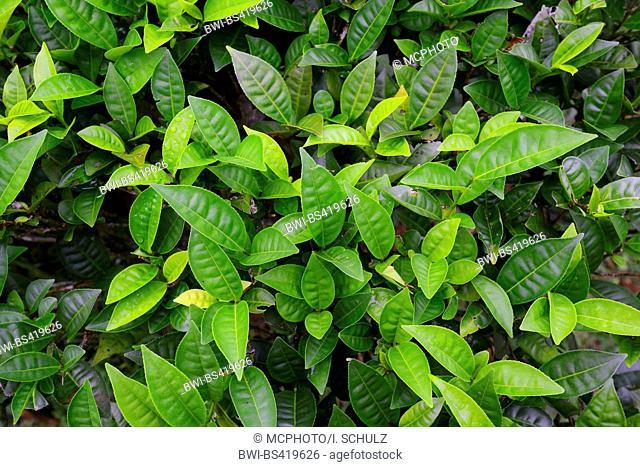 tea plant (Camellia sinensis, Thea sinensis), tea plant on the island Mahe, Seychelles, Mahe