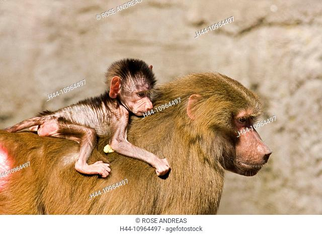 Monkeys, age, old person, Asia, Borneo, face, faces, ape, male, national, nature, Orang, orang-utan, Orangutan, park, Pongo, primates, mammal, animal, animals