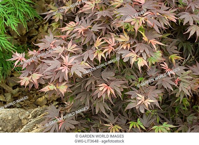 Acer Palmatum Suminagashi Stock Photo Picture And Rights Managed