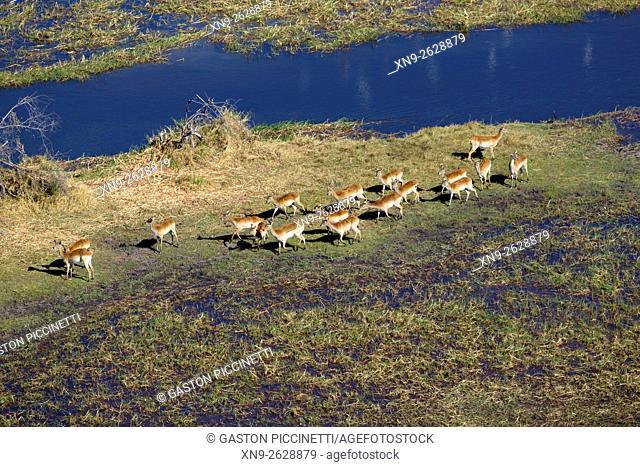 Red Lechwe (Kobus leche), in the floodplain, aerial view. Okavango Delta, Moremi Game Reserve, Botswana. The Okavango Delta is home to a rich array of wildlife