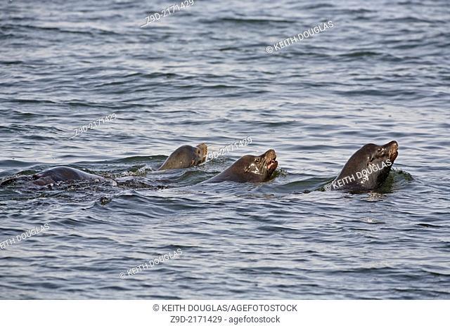 California Sea Lion (Zalophus californianus) , near Nanaimo, Vancouver Island, BC