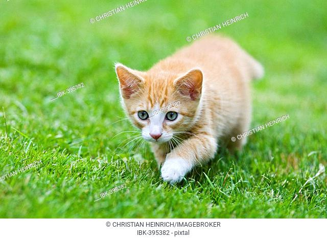 European shorthair cat in a meadow