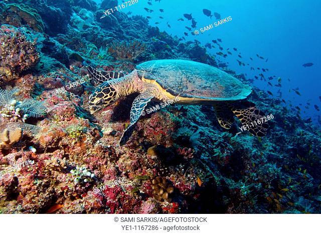 Loggerhead Sea Turtle (Caretta caretta) looks for food on a coral reef, Rango Madivaru, Ari Atoll, Maldives