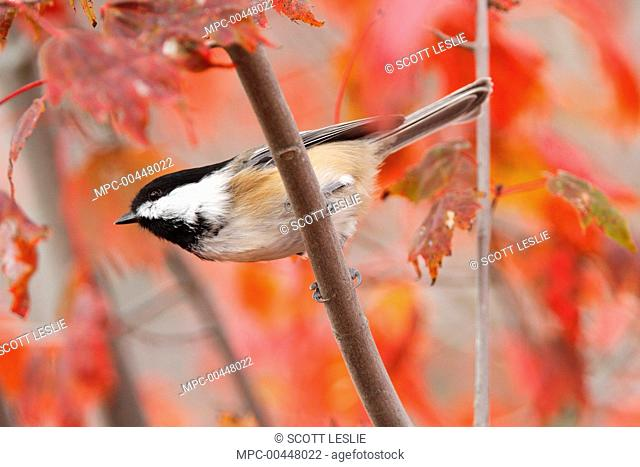 Black-capped Chickadee (Poecile atricapillus) in fall red maple tree, Nova Scotia, Canada