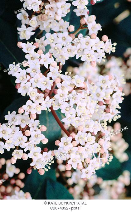 Viburnum (Viburnum davidii)