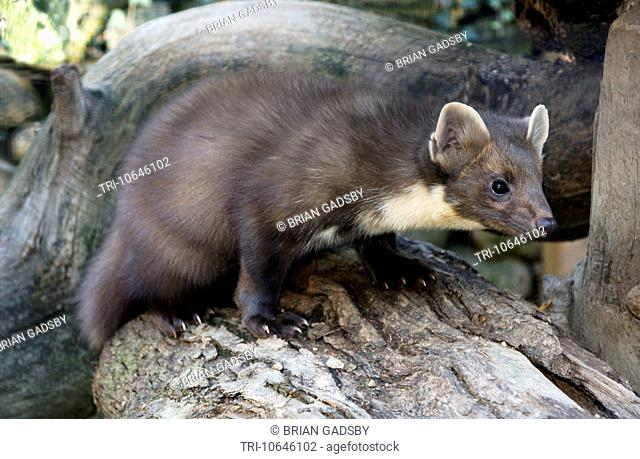 Adult Pine Marten climbing on a dead tree