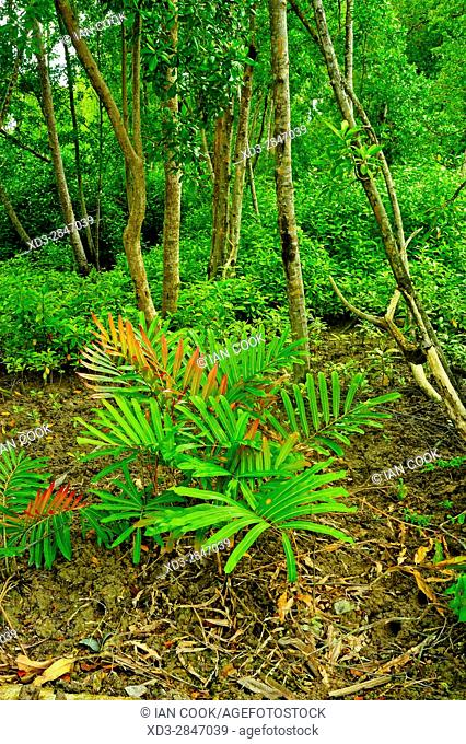 Acrostichum aureum, Kuala Selangor Nature Park, Kuala Selangor, Malaysia